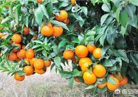 為什麼有人說沃柑是柑橘之王呢,這是真的嗎?