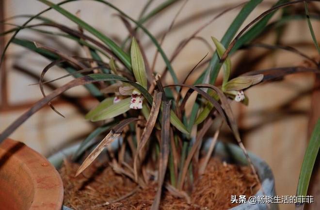 很多新手養蘭花養一段時間就死掉了,這是怎麼回事呢?