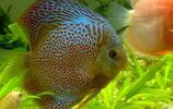 動物圖集:七彩神仙魚