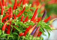 朝天椒要怎麼種植才能高產?朝天椒的高產栽培技術