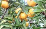 漫山的橘子紅了 父親笑了 我也笑了