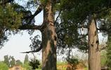實拍中國最古老的大樹,最後一棵見證了華夏之路