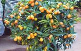 家裡陽臺種上這些水果盆栽,來年在家吃果子吧