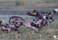 角馬群被困水中死路一條?反而合力反攻野狗群