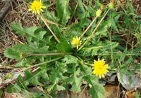 農村雜草渾身是寶,葉子花朵根可炒食做湯泡茶,種植簡單可繁殖