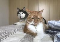 橘貓生了10只小奶貓,二哈天天幫著帶娃,都沒空拆家了