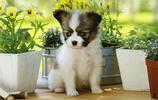 寵物圖集:風度翩翩的蝴蝶犬