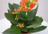如何養殖長壽花?