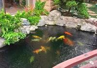 家裡做錦鯉魚池、養精品錦鯉,要注意哪些問題?