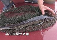漁民在長江裡捕到一條怪魚,一問才知道如此珍貴