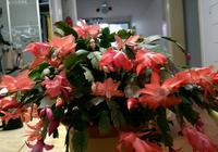 最會開花的仙人掌,超級好養,花開好幾個月,室內盆栽養花選它