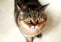 中國特有的狸花貓珍貴嗎?