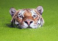 棕熊真的是老虎的天敵嗎?