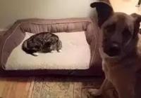 小貓到了新家,緊張地去找家裡的大金毛打招呼,結果被暖到了……