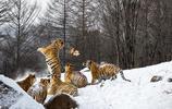 虎虎生威的東北虎