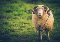 """「養羊經驗」科學養羊""""十要""""與""""十改""""!"""