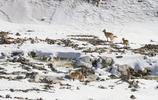 崗什卡雪峰,偶遇下山的岩羊