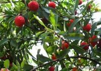 楊梅的種植技術,學會這幾點,你也能種出優質的楊梅!