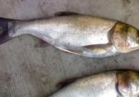花鰱魚多少錢一斤2017 花鰱魚和白鰱魚的區別是什麼