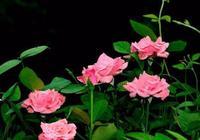 想要一株月季開出不同品種的花朵,方法很簡單,自己在家就能做