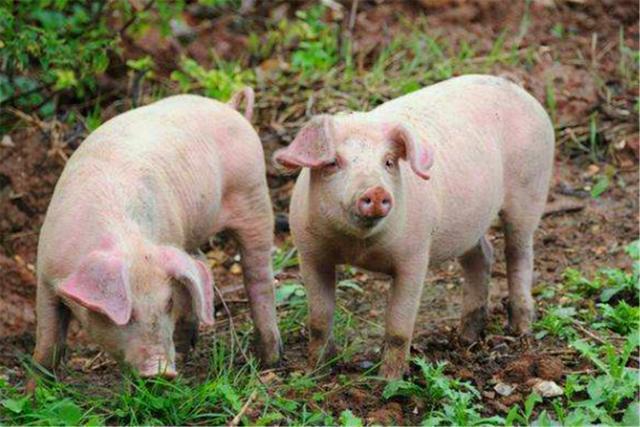 """俗語:""""正月豬,五月牛"""",啥講究?這兩月的豬和牛有啥特殊之處"""
