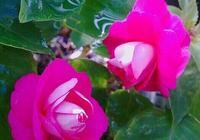 漂亮可比月季、茶花的·重瓣鳳仙花