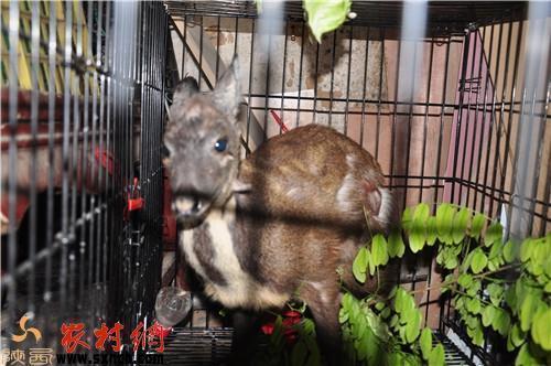 黃龍縣驚現國家一級保護野生動物原麝