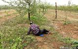 山西76歲大娘在溼漉漉地裡撿中藥材,為實現1個心願,看看是啥