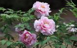 圖蟲靜物攝影:萬花叢中第一流  天然國色美無雙