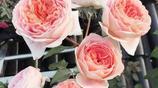 陽臺種上這8種爬藤植物,能賞花還能遮陰,一不小心就會變成花海