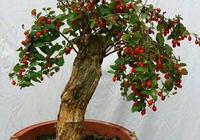 這個盆栽太好養了,一點種子一個枝條就能種,能吃能觀賞,寓意好
