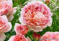 這種月季果香味濃郁,多季節開花,抗病性佳,花朵大,顏色仙!
