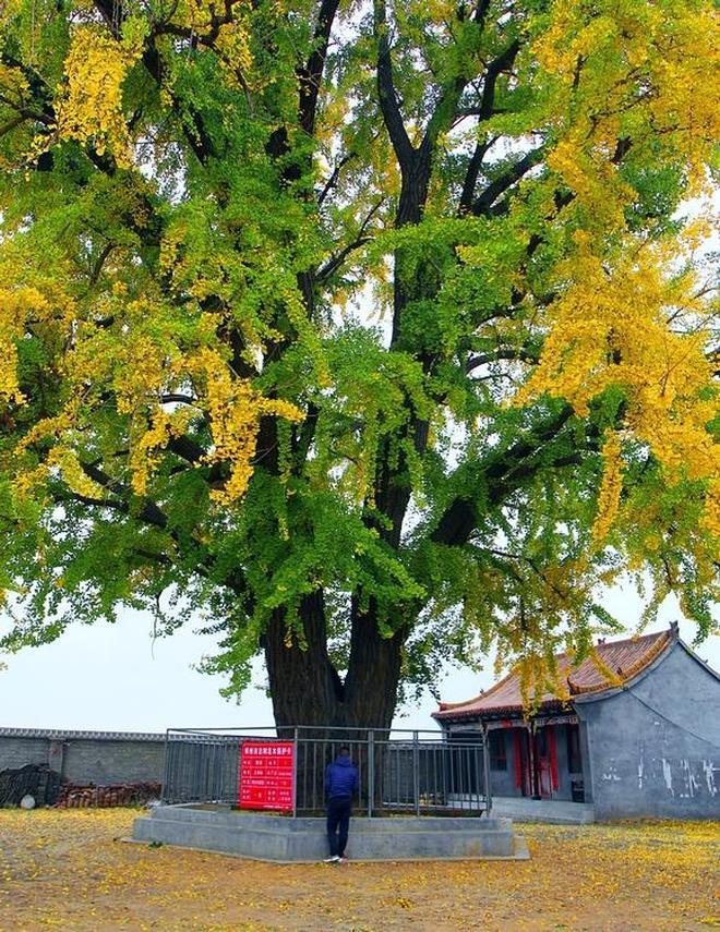 西張銀杏樹,出現了半樹金秋,半樹盛夏的爛漫奇觀