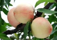 尋桃記,奉化這個村子可以淘到寧波最優質水蜜桃