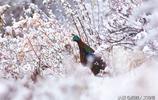 """它是尼泊爾國鳥,在尼泊爾卻難得一見,藏族人稱它是""""孔雀第二"""""""