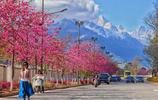 風景圖集:麗江櫻花大道櫻花美景
