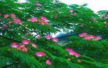 風景圖集:合歡花