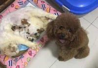 貓咪生了一窩小寶寶,主人帶著泰迪去看,母愛氾濫了