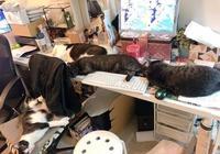 上個廁所回來辦公桌沒了,桌子上都是貓,只留下一個硬板凳給主人