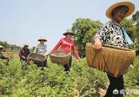 端午節馬上要到了,農村很多婦女上山去採艾葉拿去賣,一天能賺兩三百,真這麼值錢嗎?