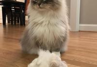 這是每位鏟屎官都飽含熱淚的控訴:憑什麼貓咪掉這麼多毛還不禿!
