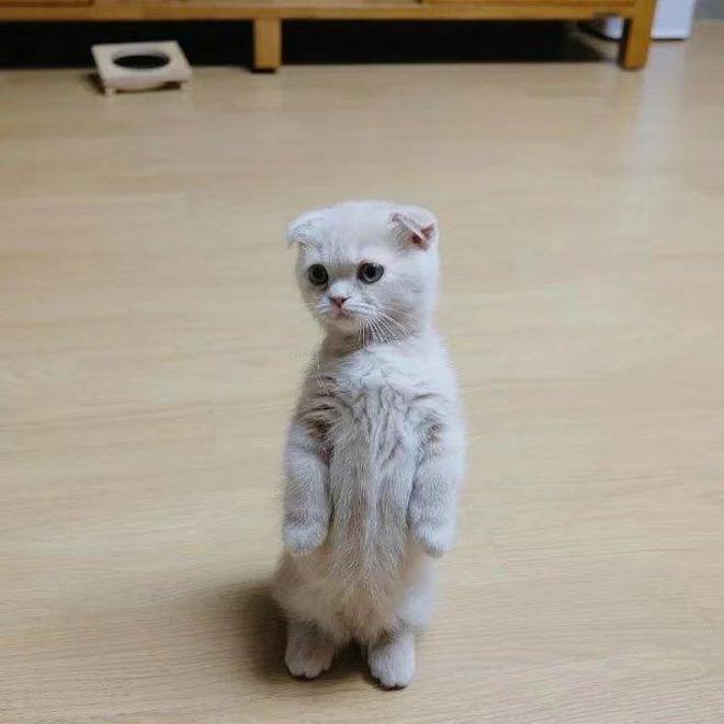 一隻喜歡站立的小折耳貓,萌爆惹!