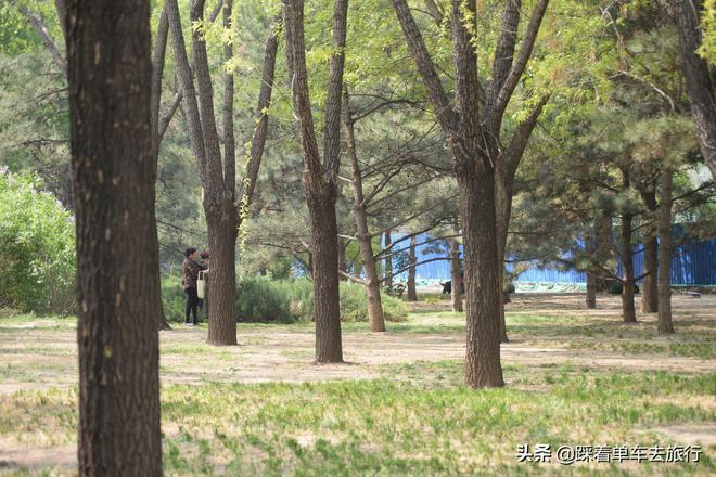 五一來臨,北京公園裡的松樹開花,大媽們又來了