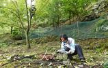 浙江臨安山核桃開杆採收