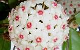 """養多年的""""綠蘿""""開了花,四處炫耀惹圍觀,鄰居看後都笑趴了!"""