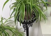 家裡的吊蘭怎麼樣才能長的又胖又肥,而不是隻會長高?