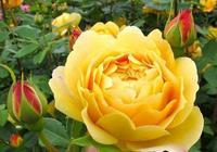 黃金慶典花色金黃,香味濃郁漂亮豐滿因為它大而金黃的花朵而得名