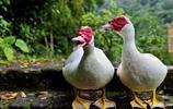 番鴨學名Cairna moschata,又名香鶉雁,麝香鴨,與一般家鴨同屬不同種
