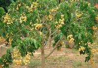 黃皮樹怎樣嫁接?