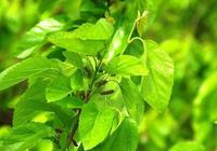 在原產地,這種樹的果子15一斤,可農民卻是靠這樹的葉子致富的!
